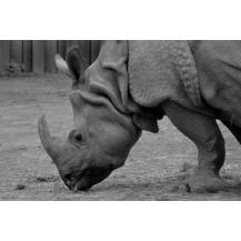 Canvas Prints Big 5 Collection - A2, Rhino 2
