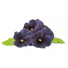Click and Grow Plant Pods - 3, Black Pansy