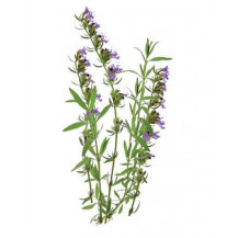 Click and Grow Plant Pods - 3, Hyssop