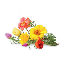 Click and Grow Plant Pods - 3, Moss Rose