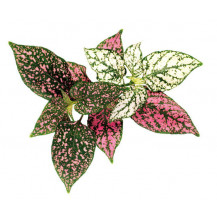 Click and Grow Plant Pods - 3, Polka Dot Flower