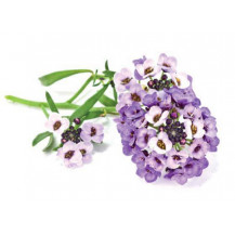 Click and Grow Plant Pods - 3, Sweet Alyssum