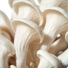 Elm Oyster Mushroom - Whole Mushroom NOT Sold, Spawn Only