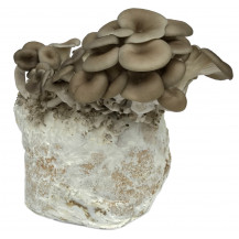 Rainbow Grey Oyster Mushroom Grow Box