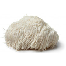 Lion's Mane Mushrooms - Whole Mushroom NOT Included, Spawn Only