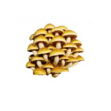 Mushroom Network Grow Stick - Chestnut Mushroom
