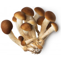 Poplar/Pioppino Mushrooms - Whole Mushroom NOT Sold, Spawn Only