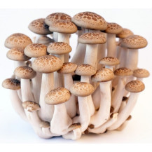 (Shimeji Mushrooms - Whole Mushrooms NOT Sold, Spawn Only