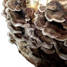Turkey Tail Mushrooms - Whole Mushroom NOT Sold, Only Spawn