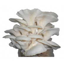 Rainbow White Oyster Mushroom Grow Box