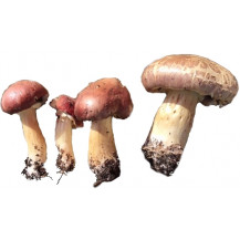 King Stropharia/ Wine Cap Stropharia Mushrooms - Whole Mushroom NOT Sold, Only Spawn
