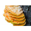 Chicken of the Woods Mushrooms - Whole Mushroom NOT Sold, Spawn Only