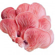 Pink Oyster Mushrooms - Whole Mushrooms NOT Sold, Only Spawn